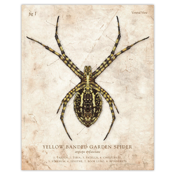 Yellow Banded Garden Spider - Scientific Illustration Print - 8x10