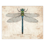 Blue Emperor Dragonfly - Scientific Illustration Print - 8x10