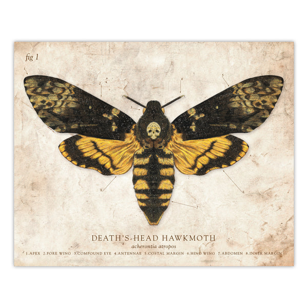Deaths Head Moth - Scientific Illustration Print - 8x10