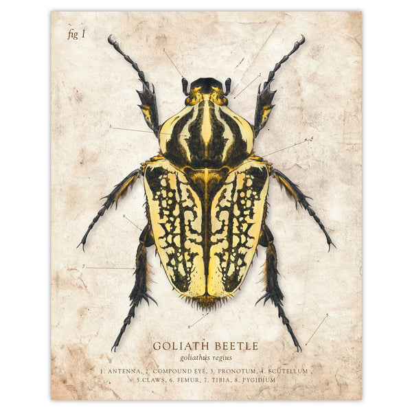 Goliath Beetle - Scientific Illustration Print - 8x10