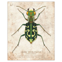 Green Tiger Beetle - Scientific Illustration Print - 8x10