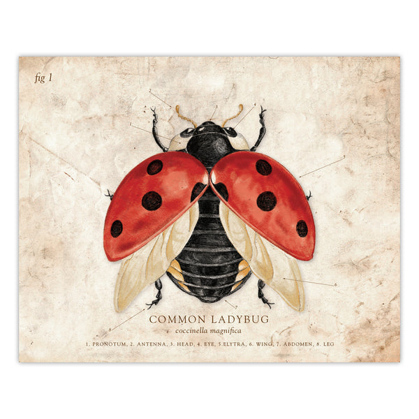 Lady Bug - Scientific Illustration Print - 8x10