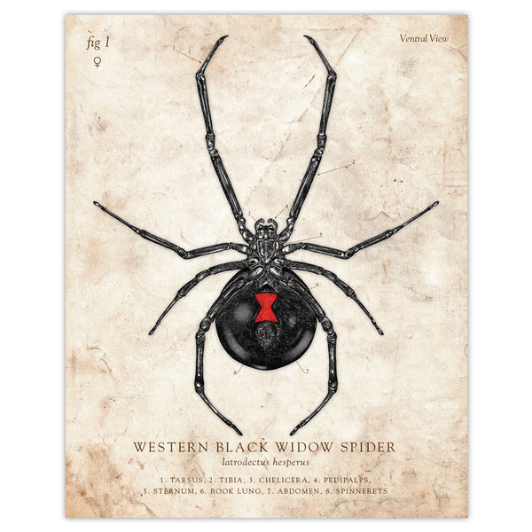 Western Black Widow Spider - Scientific Illustration Print - 8x10
