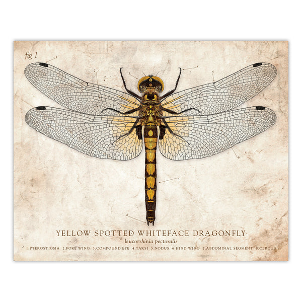 Yellow Spotted Dragonfly - Scientific Illustration Print - 8x10