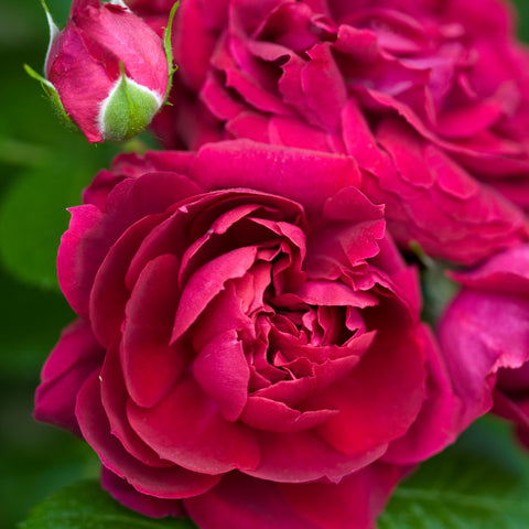 The Highgrove Rose - Bare Root