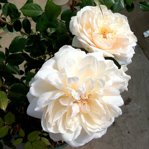 The Queen's Diamond Jubilee Rose - Bare Root