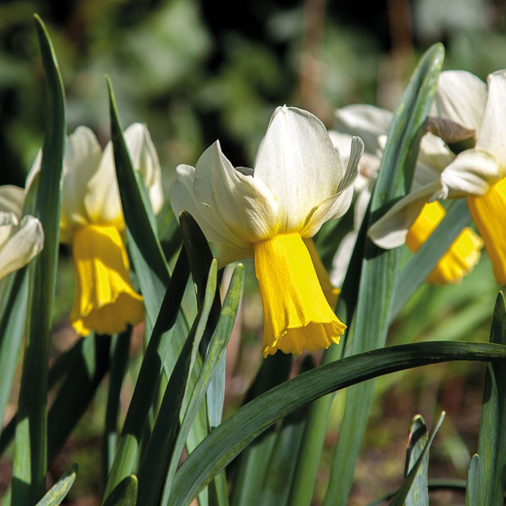 Duke of Rothesay Cyclamineus Narcissi Bulbs (Pack of 5)
