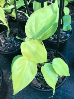 Baby Philodendron Cordatum Gold