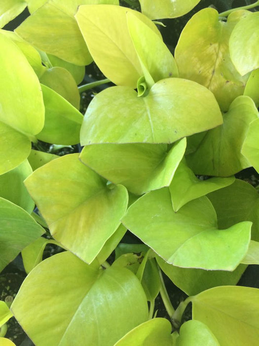 Pothos Goldilocks in 2 sizes