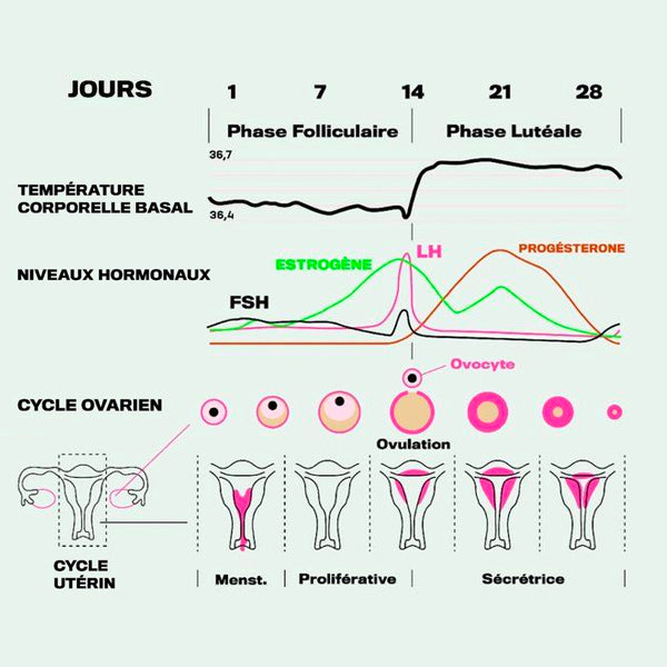 PHASE FOLLICULAIRE : DEFINITION, EXPLICATIONS, REGLES ET OVULATION
