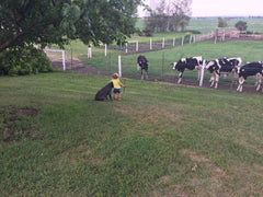 The little settlers done herding for the evening.