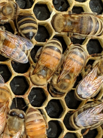 Honeybees laying eggs