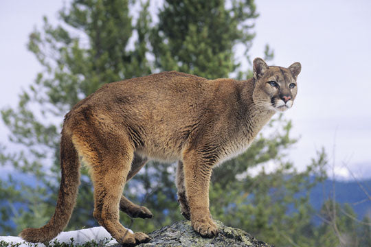 Trail Safety for Mountain Lion Encounters and Attacks