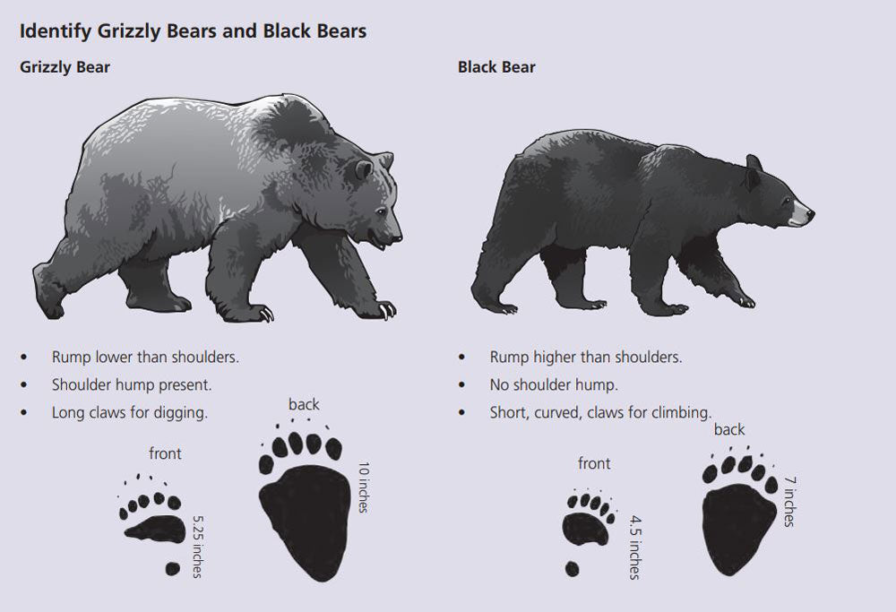 Grizzly bear vs black bear