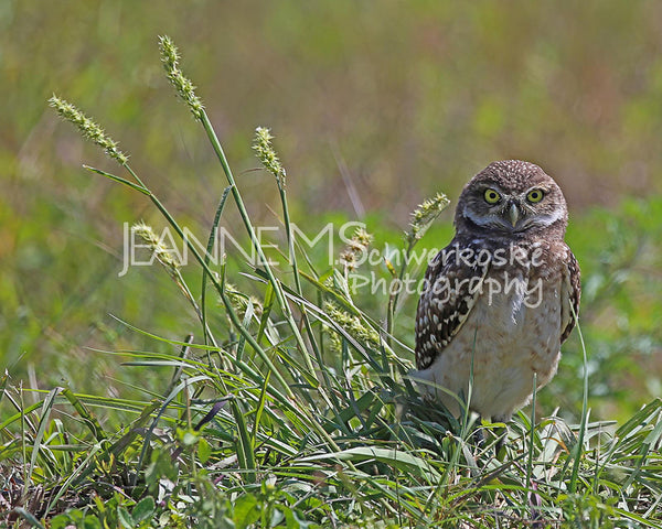 Burrowing Owl – Outstanding in His Field Photographic Art Jeanne Schwerkoske
