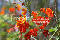 Flame Tree Photographic Art Jeanne Schwerkoske
