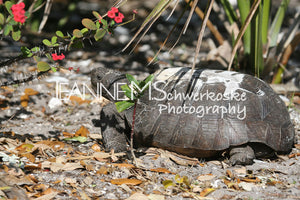 Gopher Turtle Photography Jeanne Schwerkoske