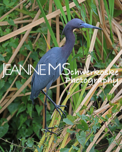 Little Blue Heron Photographic Art Jeanne Schwerkoske
