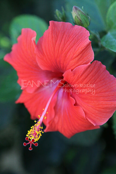 Red Hibiscus Photographic Art Jeanne Schwerkoske