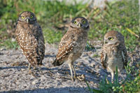 Sibling Burrowing Owls Photography Jeanne Schwerkoske
