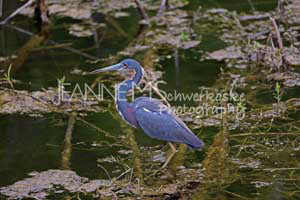 Tri Colored in Swamp Photographic Art Jeanne Schwerkoske