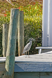 Yellow Crowned Night Heron Photographic Art Jeanne Schwerkoske
