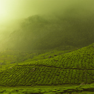 Organic tea leave from the high mountains of Asia selected by Clusters Coffee certified experts