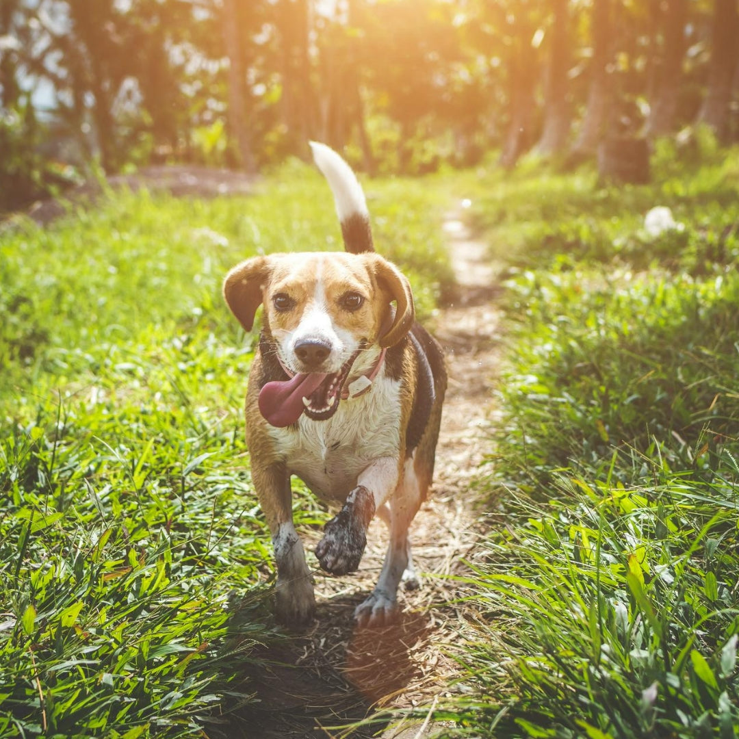 "<img src=""happy dog running.jpg"" alt=""how to support your dog immune system"">"
