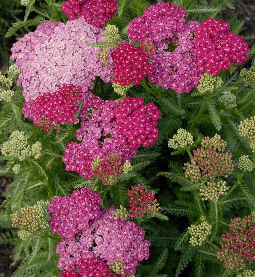 Achillea Seduction Saucy