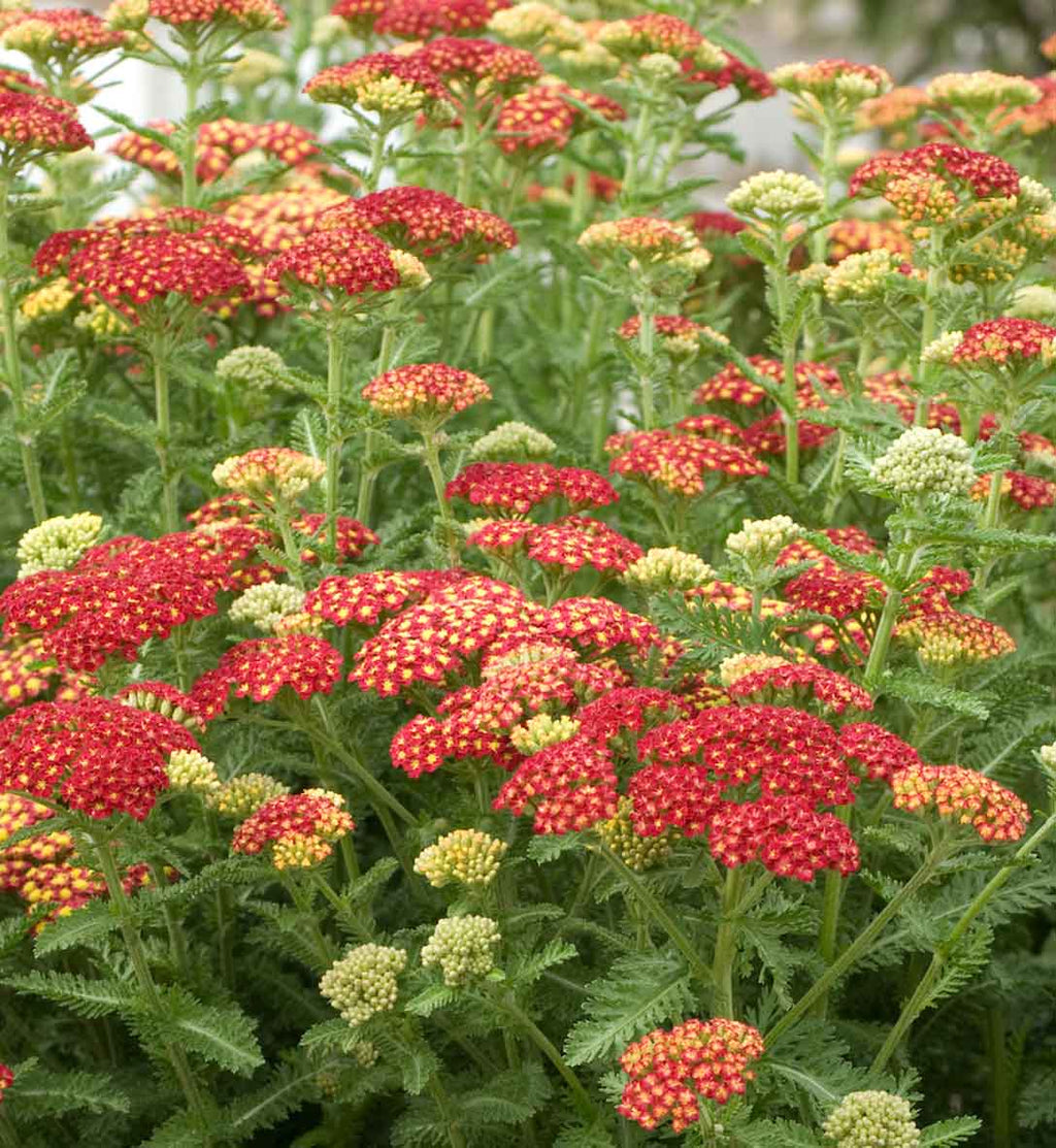 Achillea Seduction Strawberry