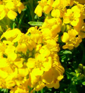 Alyssum Golden Spring