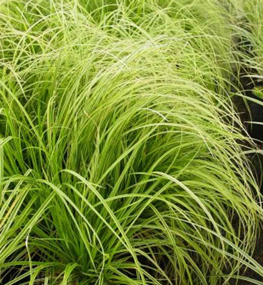 Carex Gold Fountain