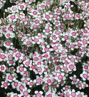 Dianthus Artic Fire