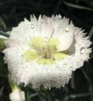 Dianthus Key Lime Pie