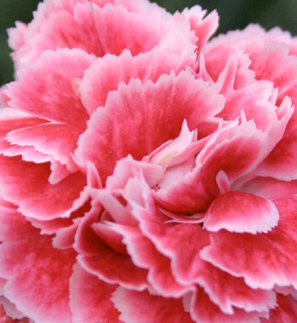 Dianthus Scent First Coral Reef