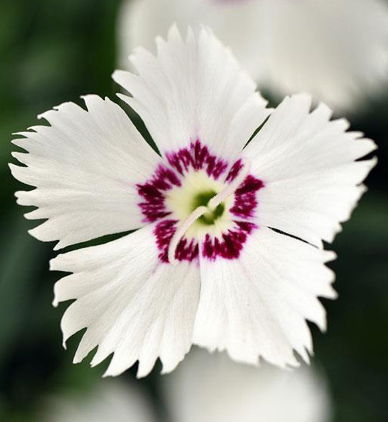 Dianthus White Twinkle