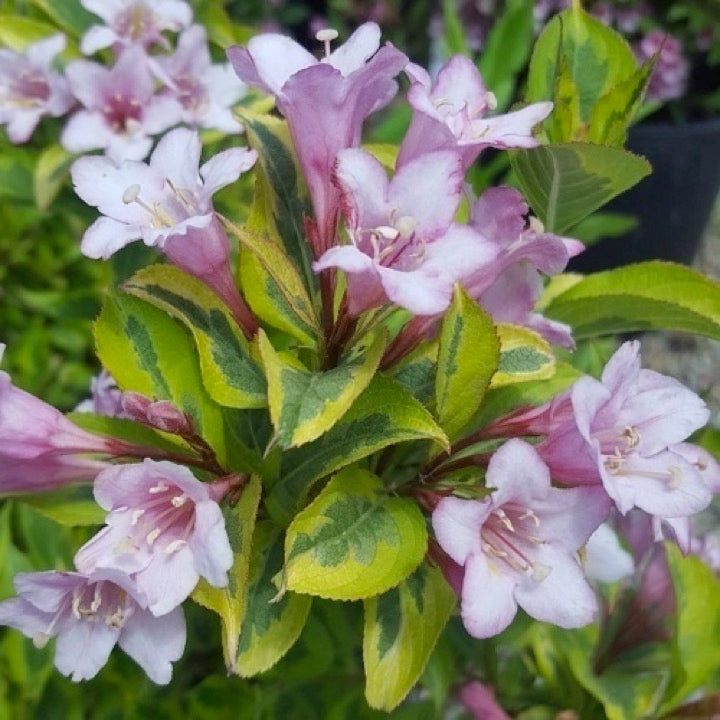 Weigela Rainbow Sensation