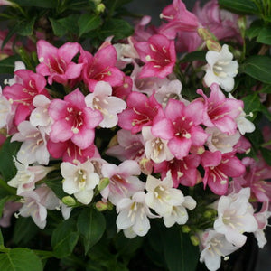 Weigela Czechmark Trilogy