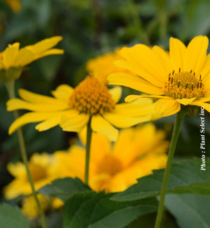 Heliopsis Toscan Gold