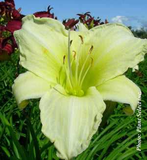 Hemerocallis Ice Carnaval