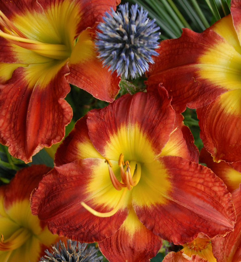Hemerocallis Passion for Red