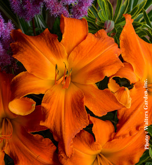 Hemerocallis Primal Scream