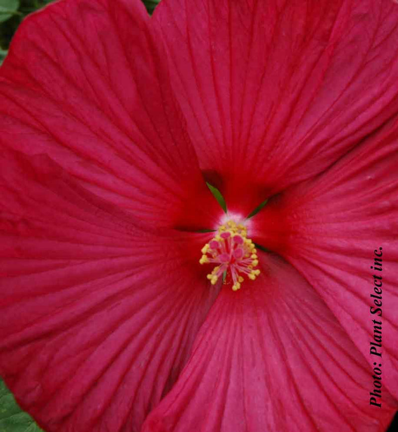 Hibiscus Luna Red