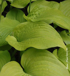 Hosta Osiris Ovation