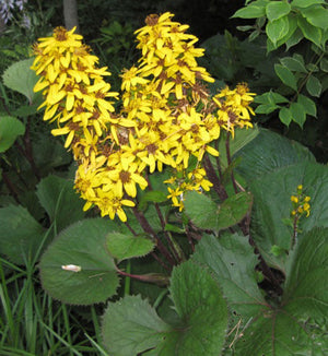 Ligularia Little Lantern