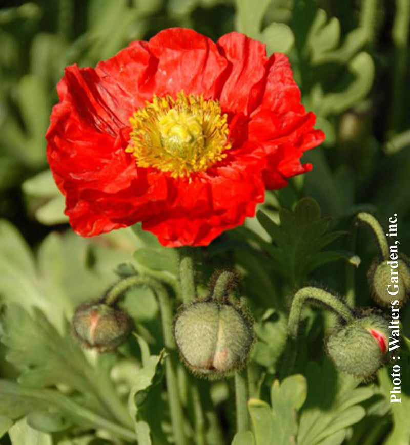 Papaver Spring Fever Red