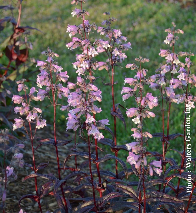 Penstemon Blackbeard