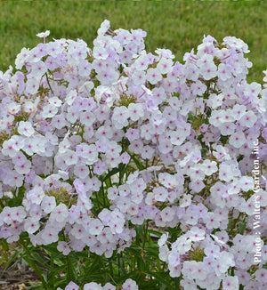 Phlox Early Lavender Ice