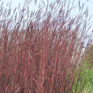 Andropogon Red October