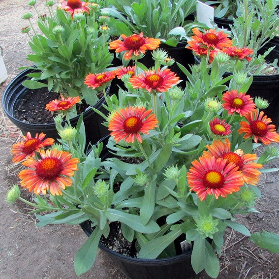 Gaillardia Gallo Red